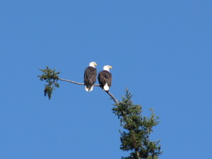 Pair_Eagles
