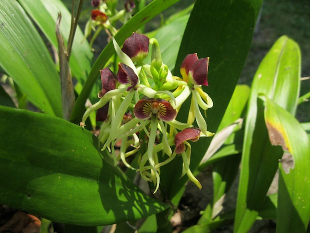 Black Orchid of Belize