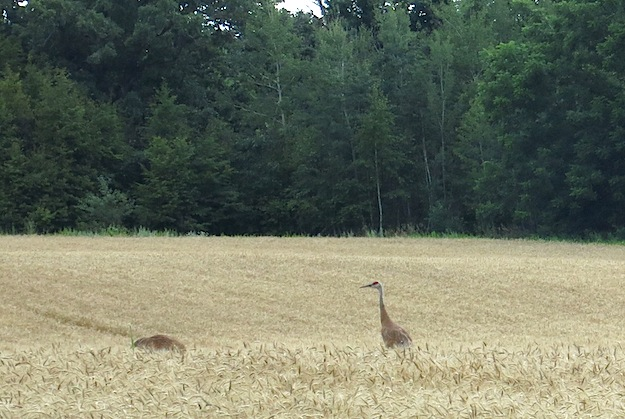 Sandhill Cranes at Grand Lake